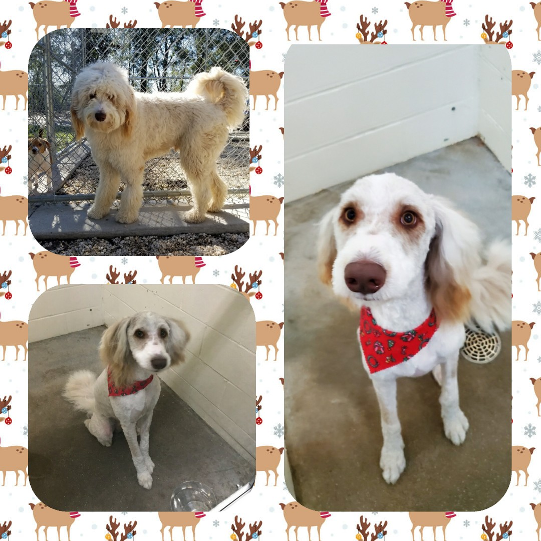 Samson lost all of his hair in preparation for the holidays! Check out his before and after of his groom with Holly. Call us today to schedule your pups spa day before the craziness of the holidays! 850-479-9484.