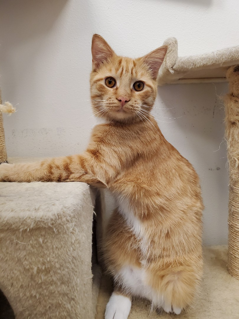 Look at that pose! This sweet boy is enjoying his purrobics play time on the cat tree during his boarding stay with us.