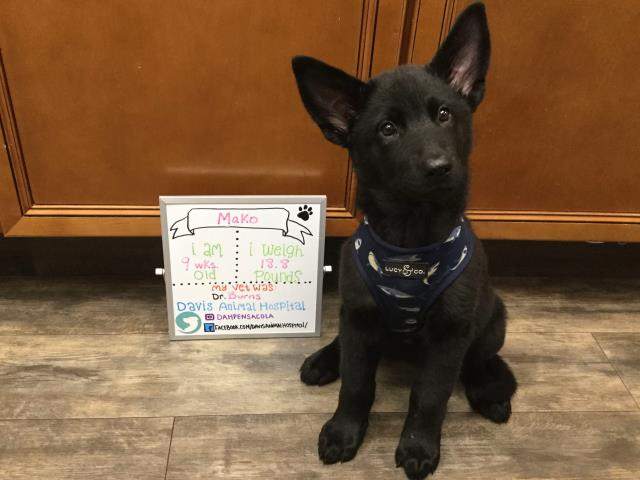 Sweet Mako the German Shepherd mix came into our Vet Hospital here in Pensacola for booster vaccinations.  She did great!