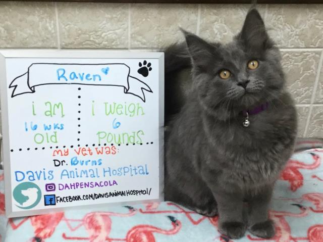 Sweet Raven the Mainecoon kitty did great at her final kitten vaccine visit here in Pensacola at Davis Animal Hospital!