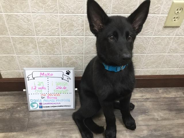 Mako is growing up! She did great at her puppy booster visit.  We look forward to watching her grow.  Come check out our Pensacola animal hospital today!