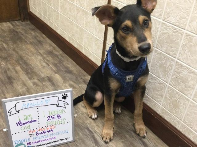 Sweet Apollo, the German shepherd mix, came in for his final puppy boosters at our Pensacola animal hospital.