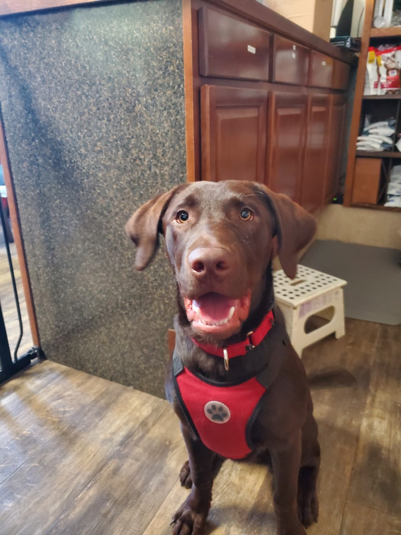 Calvin the chocolate lab came to our animal hospital today for eye issues. He did really great and is expected to make a recovery.