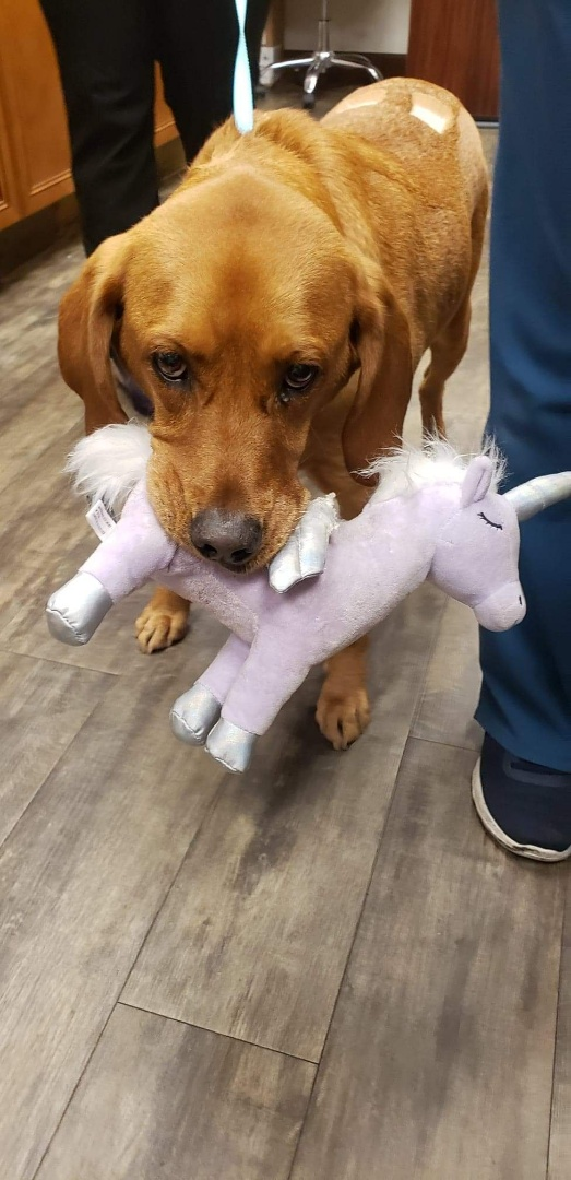 Willie Nelson completed his heartworm treatments with us and is on the road to be heartworm free! Isn't he is so sweet with his stuffed unicorn?!  #heartwormpositive #heartwormprevention #vettechlife #veterinarymedicine #heartworms #preventativemedicine #dogsofinstagram #coonhoundsofinstagram #pensacolaflorida #AnimalHospital