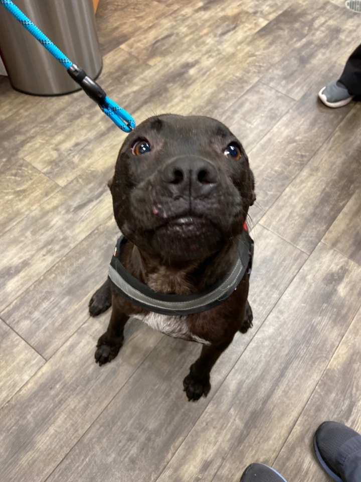 Blue the pit bull came to our animal hospital in Pensacola for allergies and is being such a good boy!!