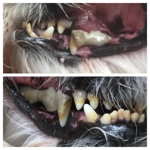 This Shih Tzu came in to our animal hospital in Pensacola for drooling, not eating, acting painful, and lethargy.  Dr. Stephenson diagnosed severe dental disease and a lot of teeth needing extractions. Thank goodness we have a certified dental practitioner in our office!