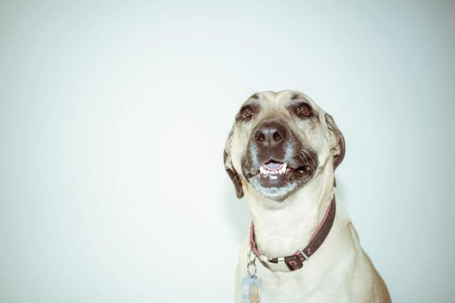 If you are smelling bad breath or are seeing red swollen gums or a yellow/brown crust of plaque on your pets teeth it's time for a dental cleaning.
