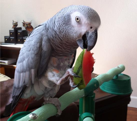 Gulf Breeze, FL - Beautiful Lela with her yummy watermelon snack. Lela, a lovely exotic African Grey Parrot, that comes to Davis Animal Hospital to see Dr. Sokoloff for avian care.