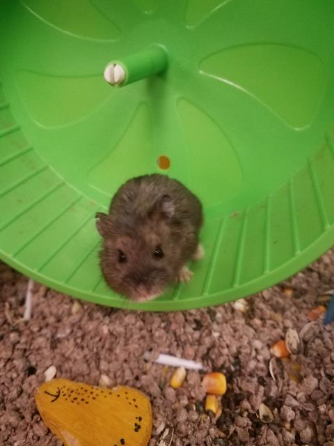 Bengi is here today at Davis Animal Hospital because she isn't feeling well.  Thankfully, our exotic veterinarian, Dr. Sokoloff, knows a lot about hamster health!