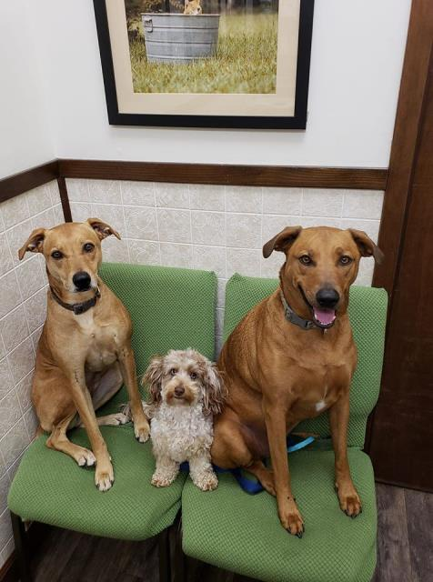 Stella, Stoli, and Studley are here for their annual vaccinations and examinations today at Davis Animal Hospital!  We love that they decided to not give their doggy daddy a seat!