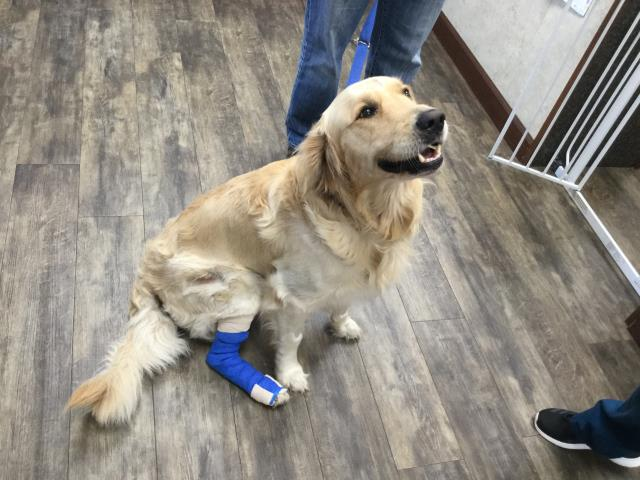 Poor Moose came in because he had gotten hit by a car after he jumped the fence last week, but this friendly boy has bounced back wonderfully with help from his dad, Dr. Sokoloff, and all of our technicians! He is so happy his dad is bringing him to the best Animal Hospital in Pensacola, FL!