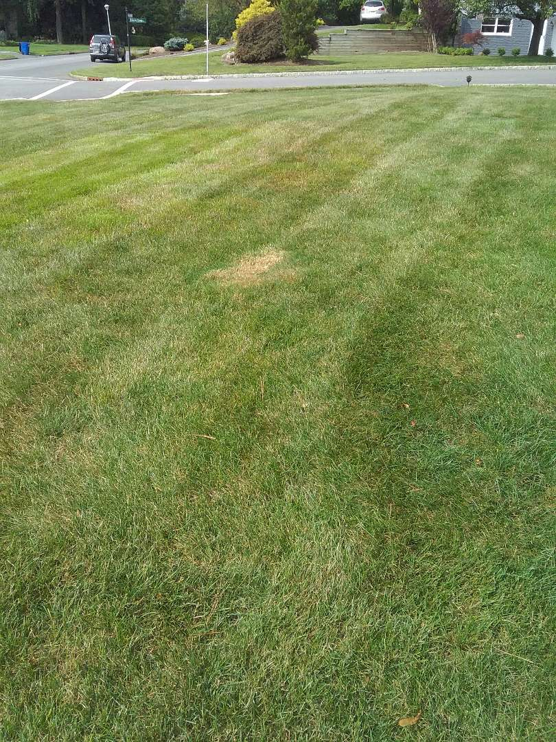 Applying granular fertilizer, treating for weeds, insects and grubs, in preparation for seasonal aeration, backed by a green lawn guarantee!!! =)