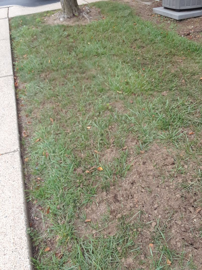 Restoring another lawn