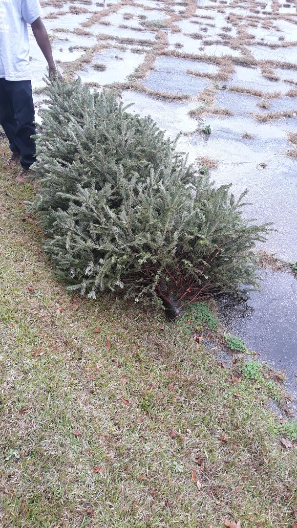 Pick up two Christmas Trees today for a local business