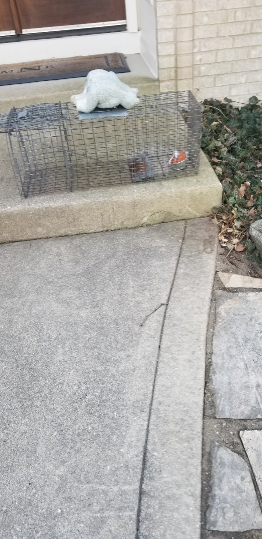 Naperville, IL - Professional opposum trapping and removal in Naperville  , IL