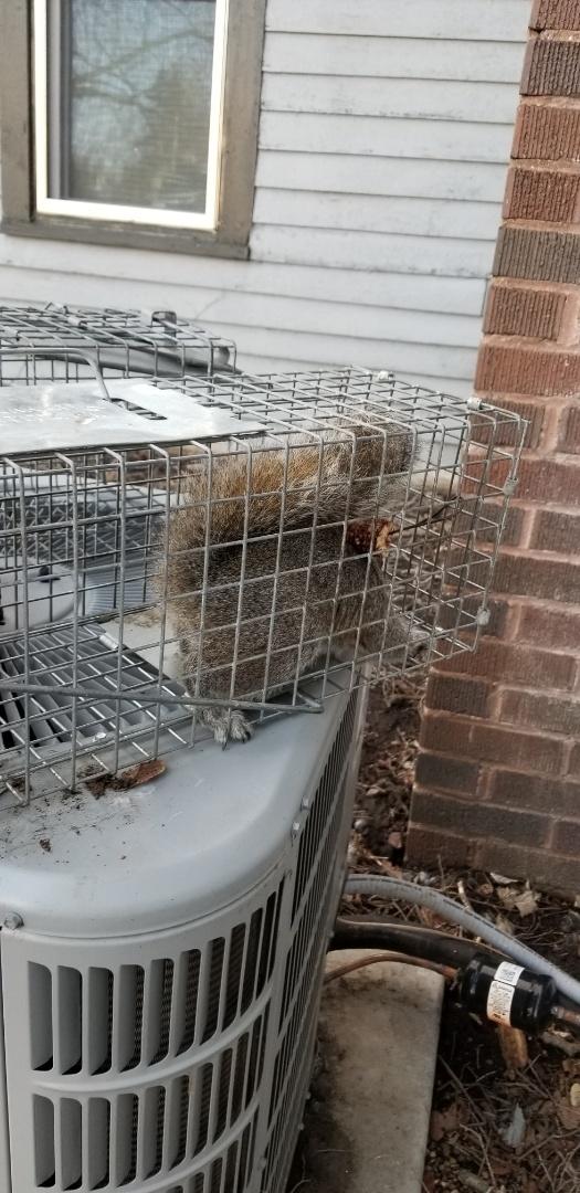 Successful squirrel trapping and removal in Millington , IL.