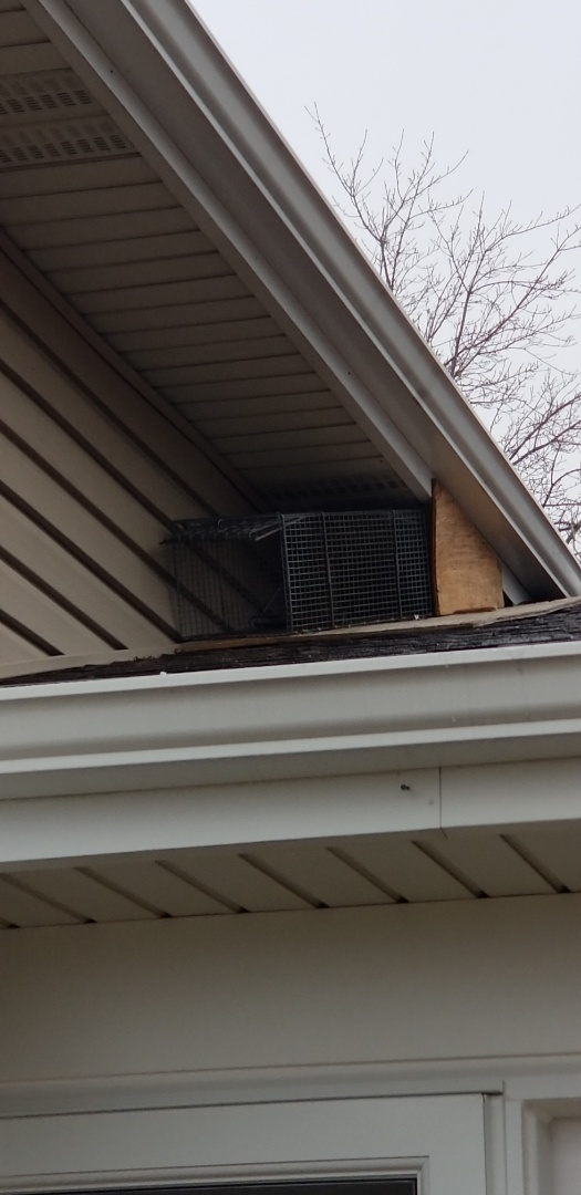 Schaumburg, IL - Expert , professional  raccoon trapping and removal in Schaumburg. IL.