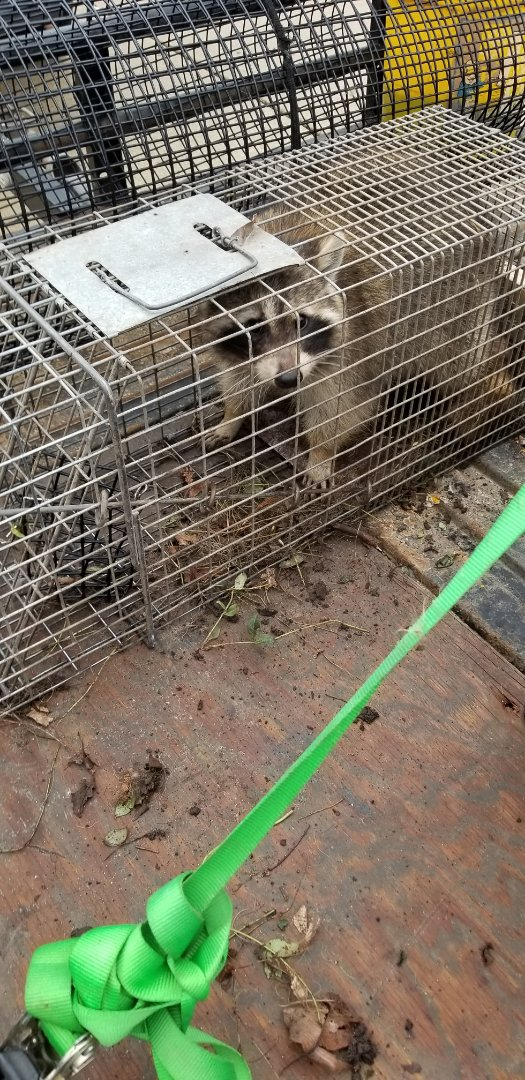 Elgin, IL - On going successful raccoon trapping and removal in Elgin , IL.
