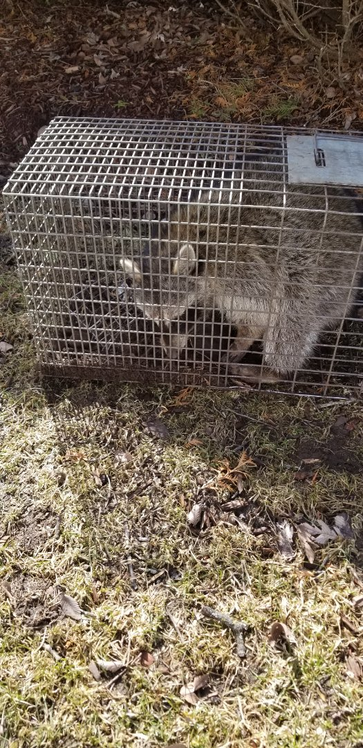 Batavia, IL - Successful , professional raccoon trapping and removal in Batavia , IL.