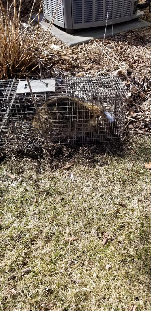 Plainfield, IL - Successful raccoon trapping and removal in Plainfield , IL