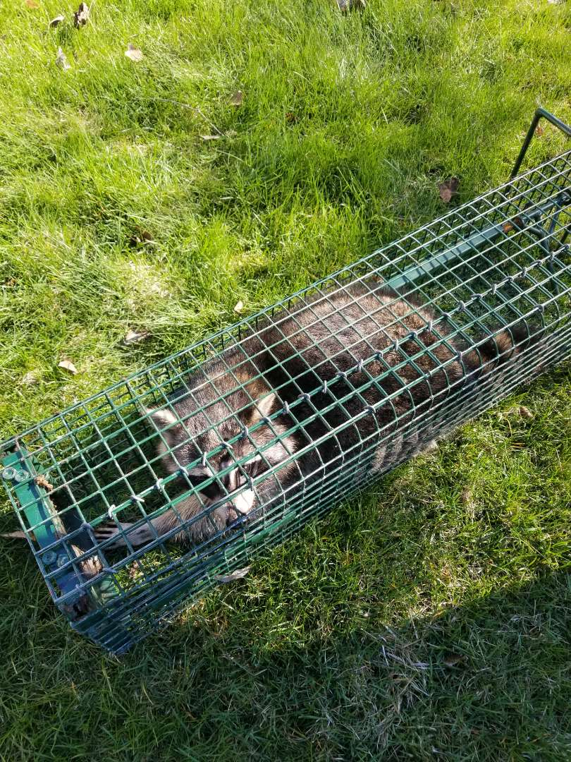 Lisle, IL - Successful raccoon trapping and removal in Naperville  , IL.