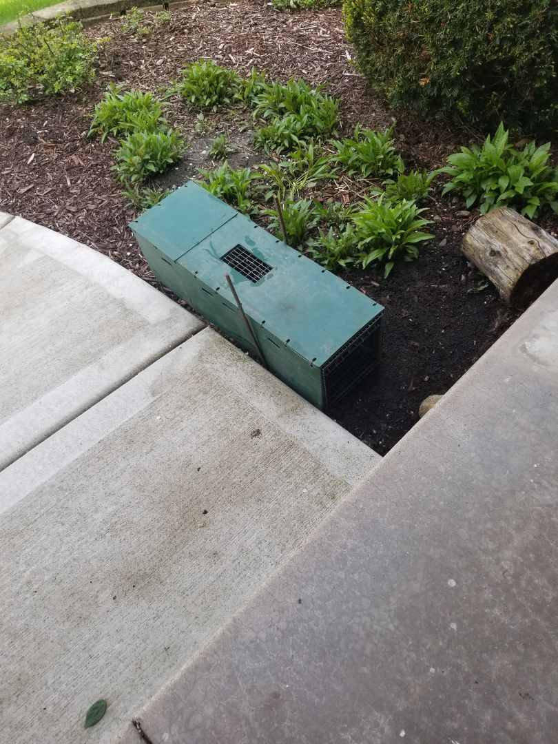 Naperville, IL - Professional skunk trapping and removal in Naperville ,  IL.