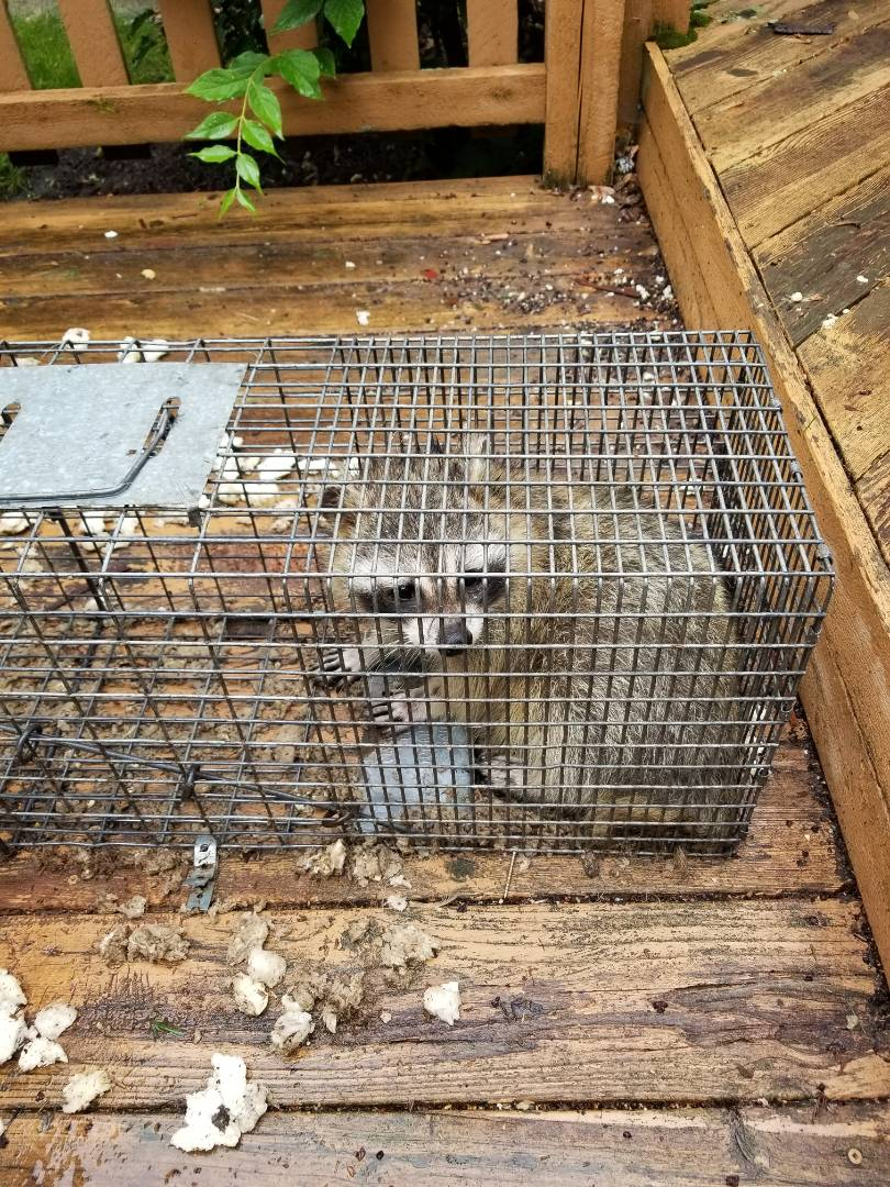 Montgomery, IL - Overnight successful raccoon trapping and removal in Montgomery  , Il