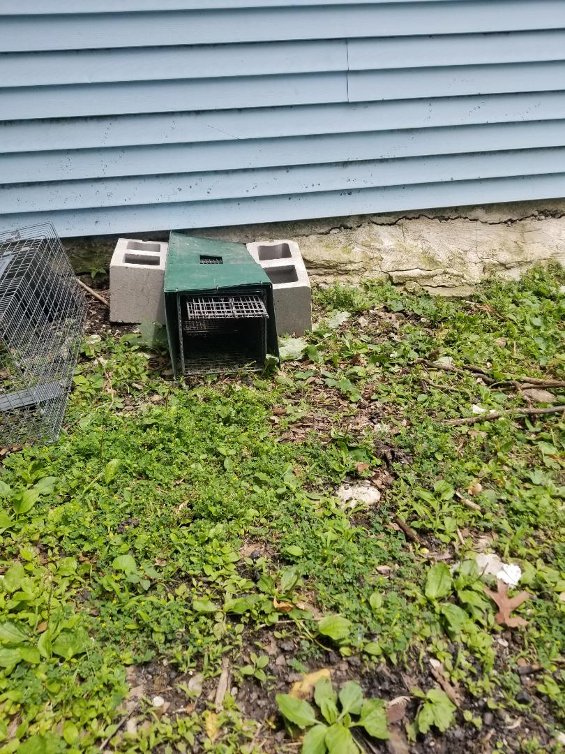 Joliet, IL - Professional skunk trapping and removal in Joliet , IL.