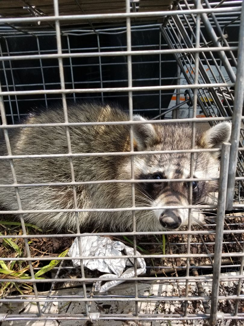 Batavia, IL - On going successful raccoon trapping and removal in Batavia , IL