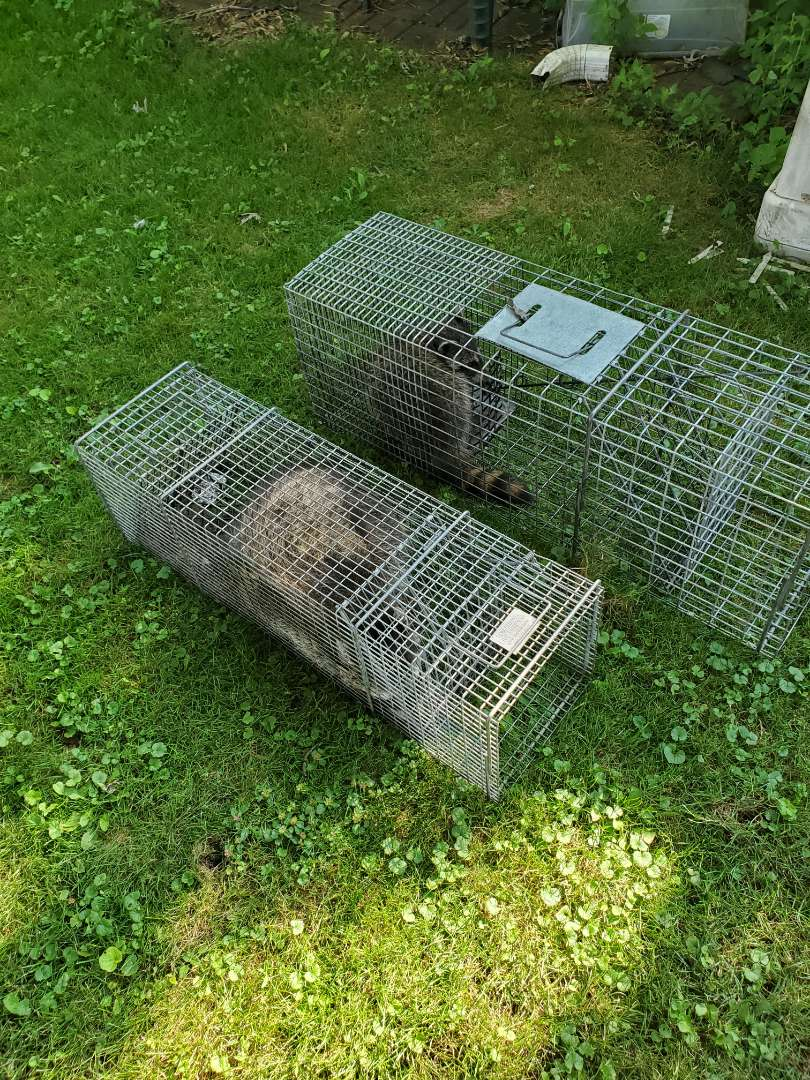 Joliet, IL - Completion of successful raccoon trapping and removal in Joliet , IL.