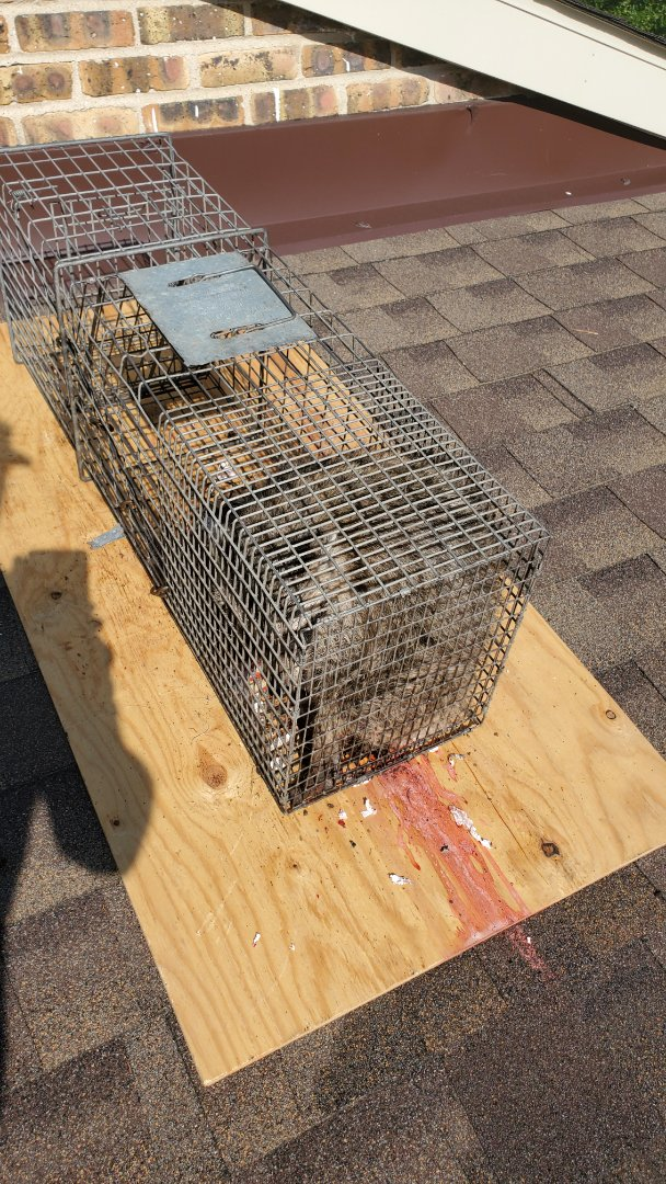 Lombard, IL - On going successful raccoon trapping and removal in Lombard , IL.