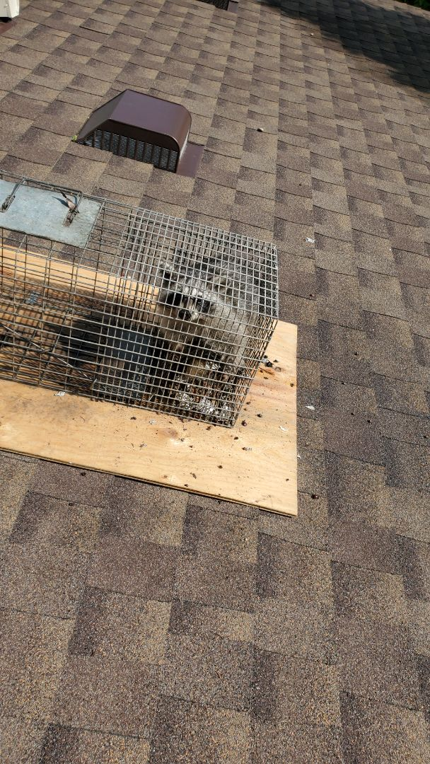 Lombard, IL - 2nd successful raccoon trapped and removed in Lombard  , IL.