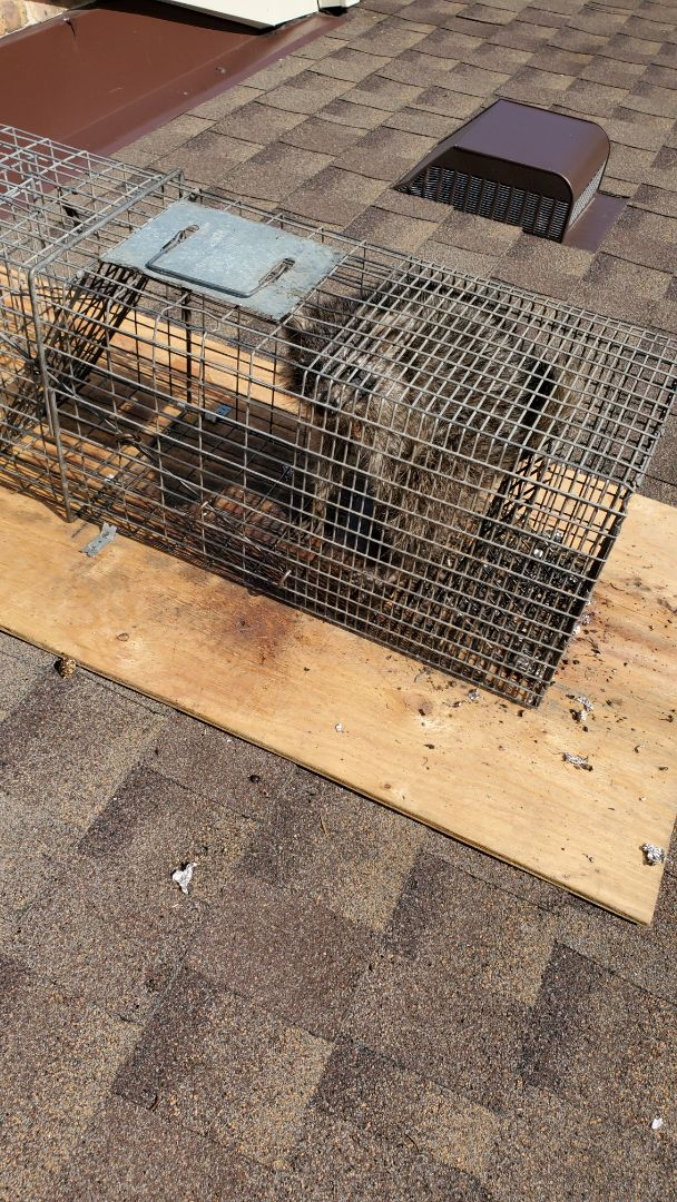 Lombard, IL - 3rd raccoon successfully trapped and removed in Lombard , IL.