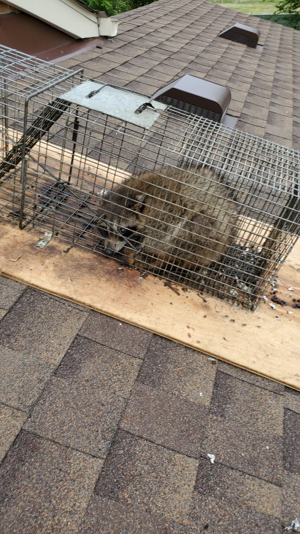 Lombard, IL - Completion of successful raccoon trapping and removal in Lombard , IL.  with capture if 4th raccoon.