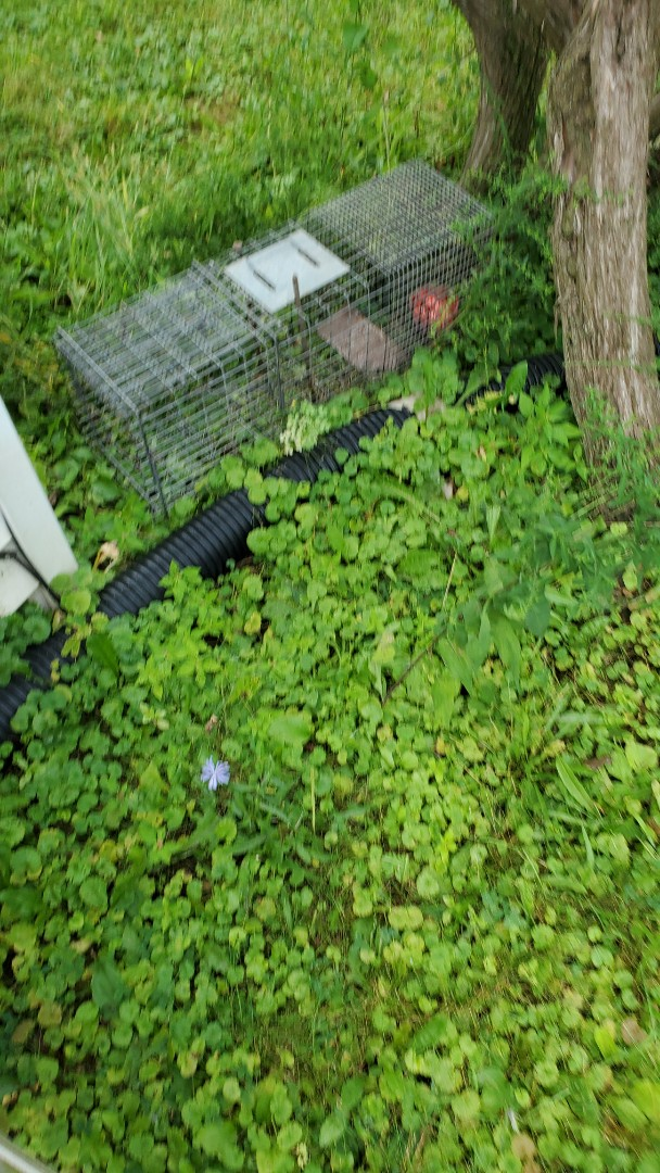 Lockport, IL - Professional raccoon trapping and removal in Lockport , IL.