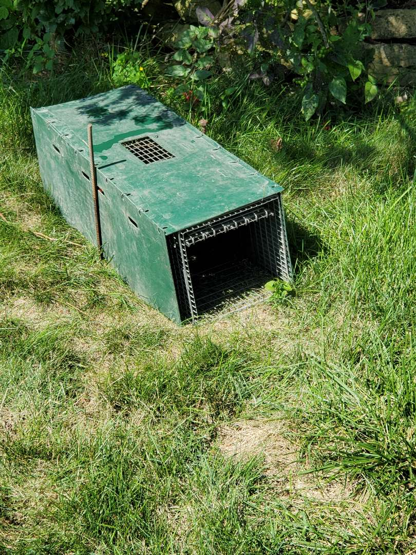 Lombard, IL - Skunk trapping and removal in Lombard , IL.
