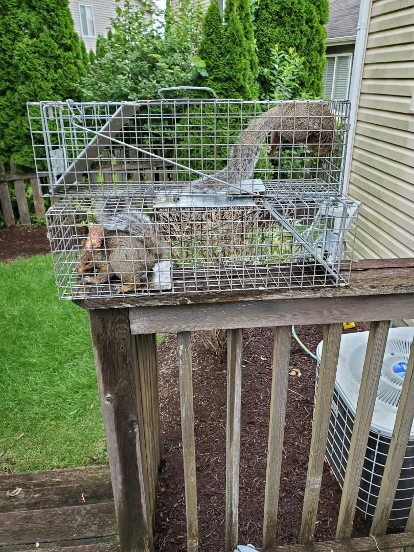 Naperville, IL - On going successful squirrel trapping and removal in Naperville , IL
