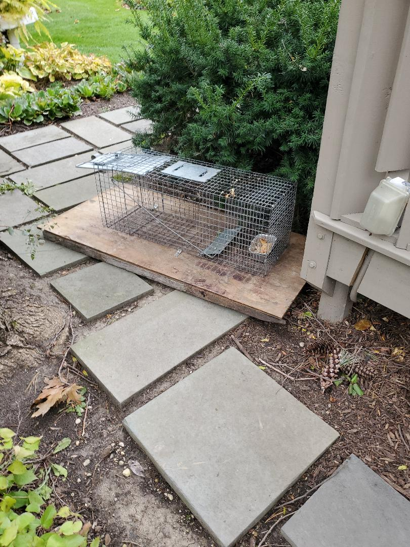 La Grange, IL - Raccoon and opposum trapping and removal in LaGrange Highlands , IL.