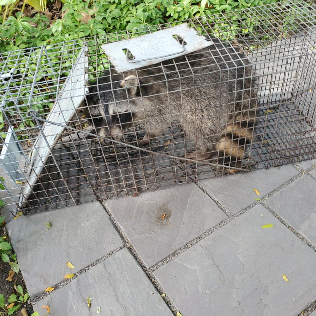 La Grange, IL - Successful overnight raccoon trapping and removal in Lagrange Highlands , IL.