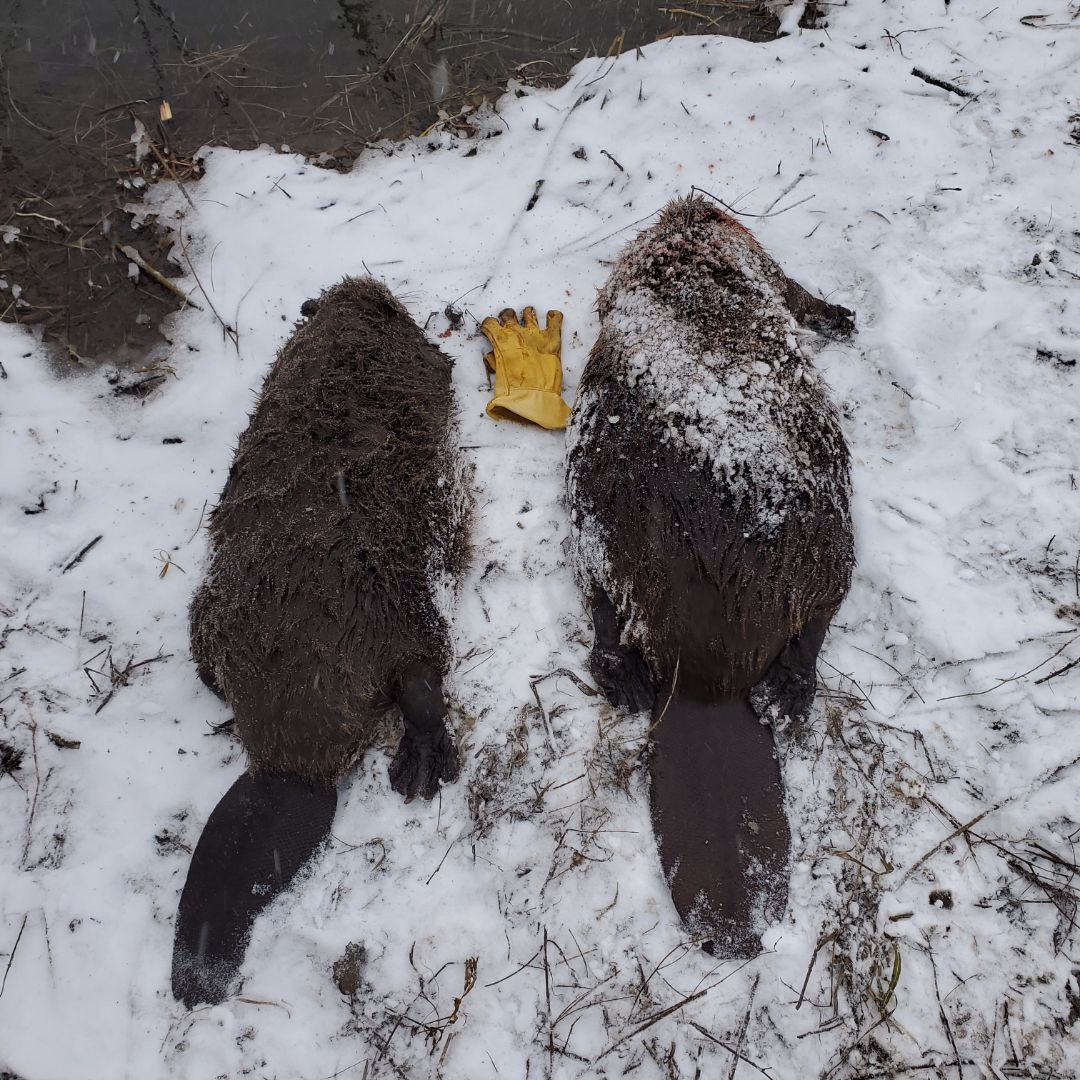 Successful ongoing beaver trapping and removal in Lisbon , IL.