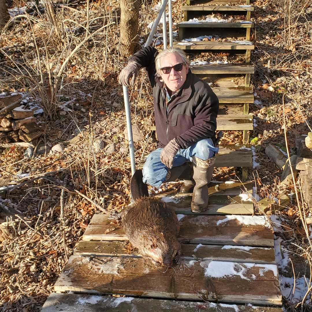 Plano, IL - On going successful beaver trapping and removal in Plano  , IL.