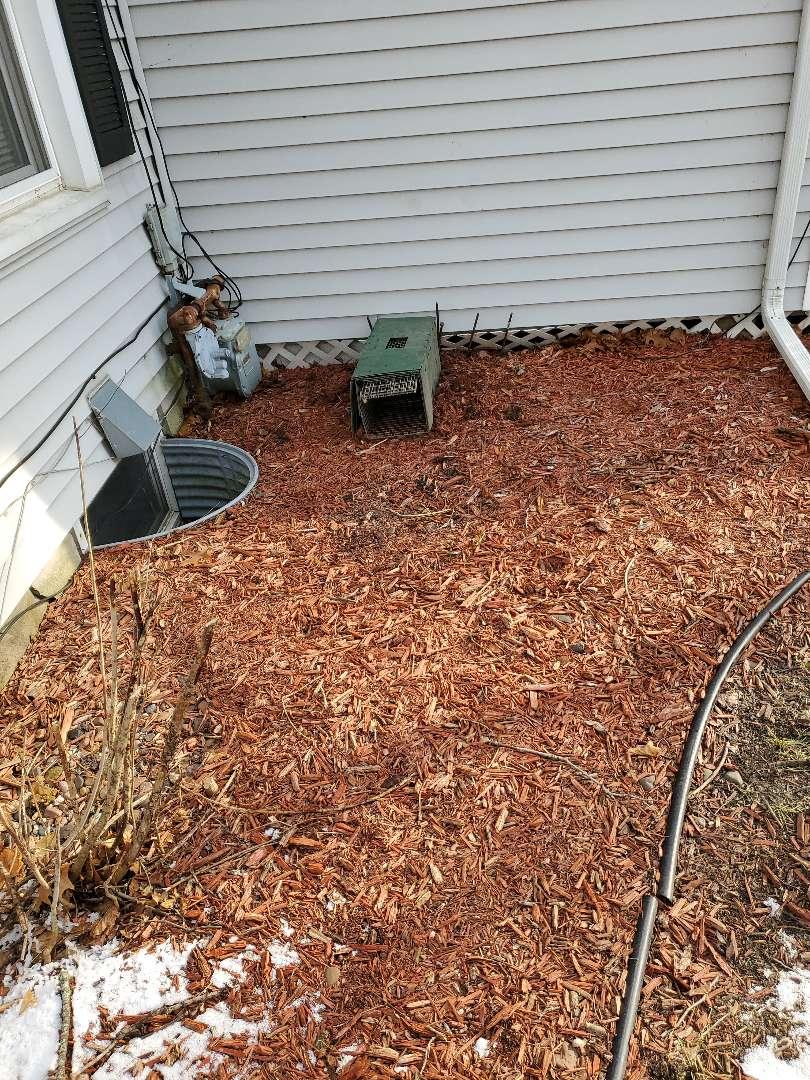 Ottawa, IL - Professional skunk trapping and removal in Ottawa  , IL.