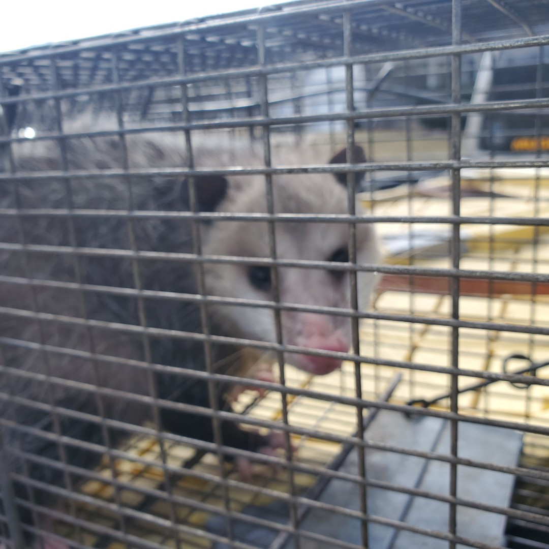 Lombard, IL - Successful completion of opposum trapping and removal in Lombard , IL.