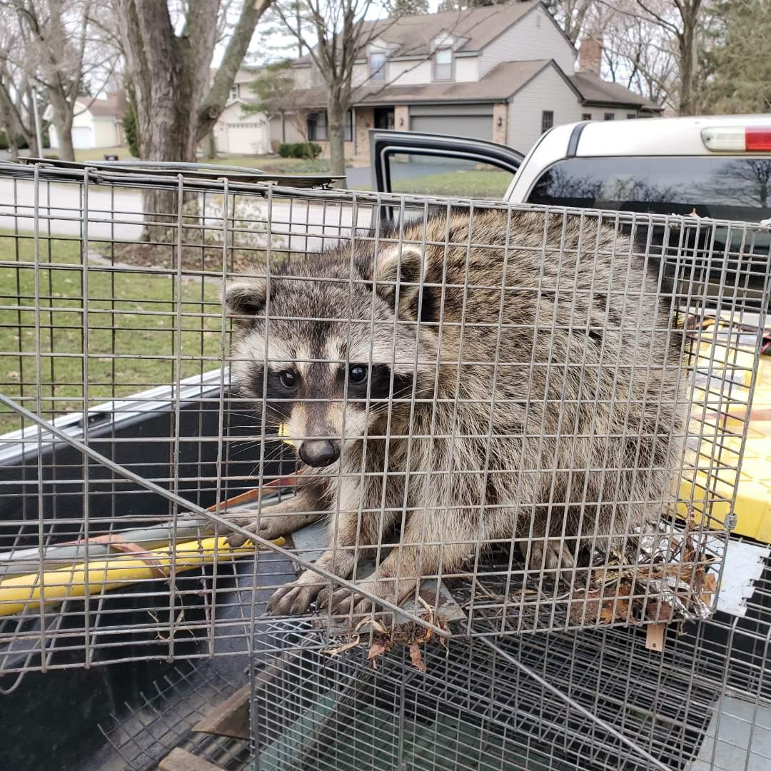 Geneva, IL - Successful overnight raccoon trapping and removal in Geneva , IL.