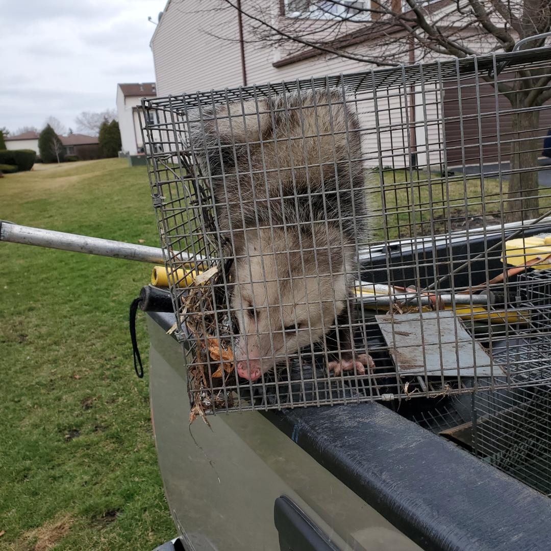 Tinley Park, IL - Successful opposum rescue frim window well in Tinley Park , IL.