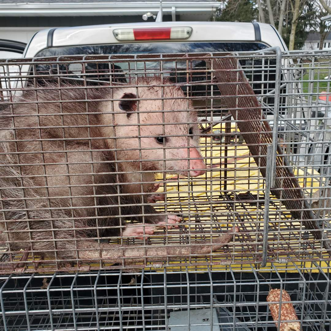 On going nuisancewildlifetrapping.com wildlife trapping and removal in North Aurora , IL.
