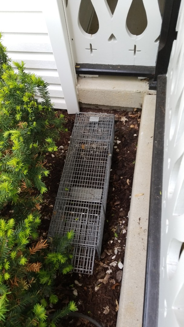 Lisle, IL - Safe  and humane skunk trapping and removal .