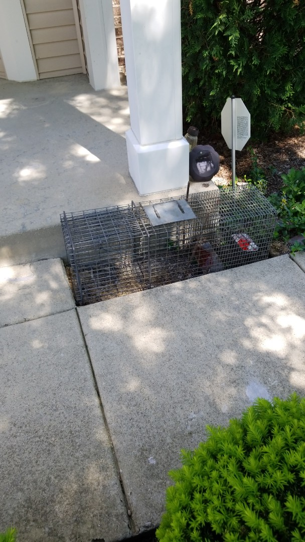 Plainfield, IL - Humanely and safely trapping raccoon.