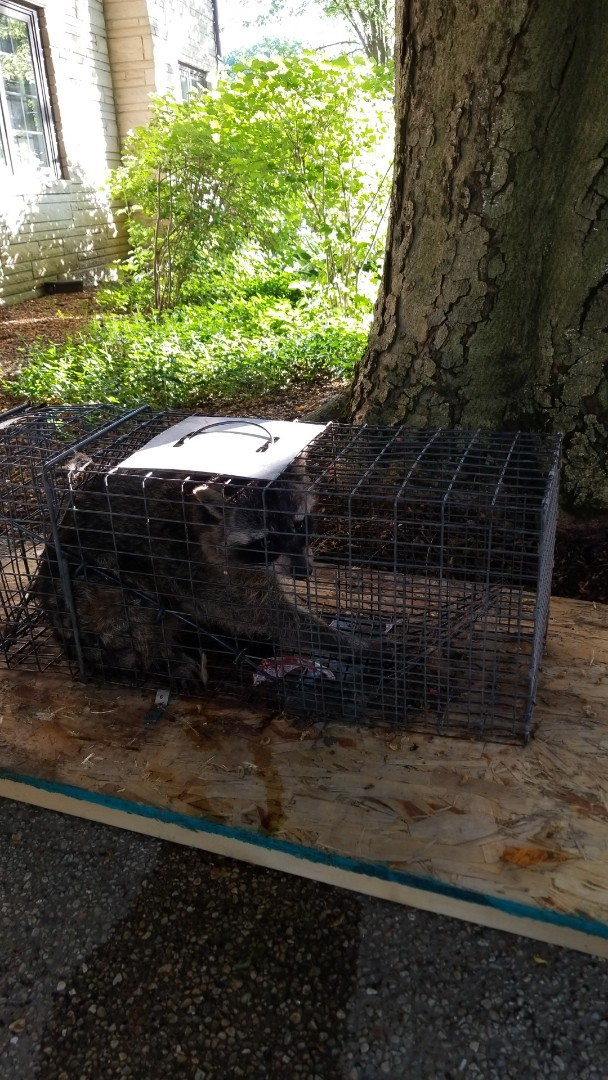 Maple Park, IL - Successful  Lhumane raccoon trapping and removal .