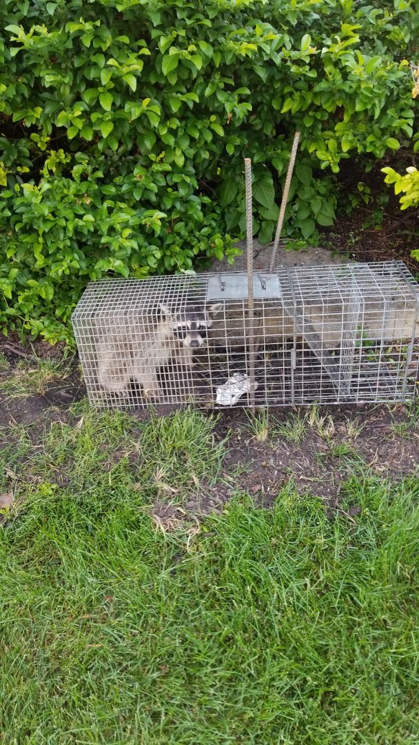 Plainfield, IL - Effective , safe and humane raccoon trapping and removal .